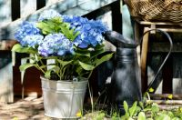 Garden plant of the moment: Hydrangea