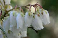 Garden plant of the moment: Pieris japonica