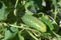 Have a go at growing greenhouse cucumbers