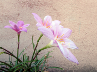 It's time to plant Colchicums