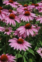 JULY – HTA PLANT OF THE MOMENT BRING IN THE BUTTERFLIES