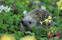 Just one in four of us come across hedgehogs regularly in our gardens