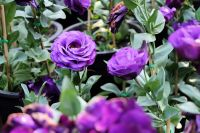 Lisianthus: flower of the moment