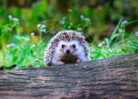 Looking after wildlife: Hedgehogs