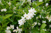 Once early summer shrubs finish flowering, it's time to give them a prune
