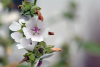 Plant of the Week: Althaea
