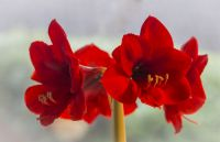 Plant of the Week: Amaryllis