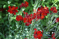 Plant of the Week: Erysimum