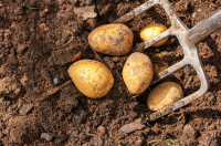 Plant your new potatoes now