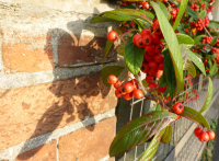 Pyracantha architecture