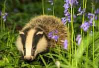 What to do about badgers in your garden?