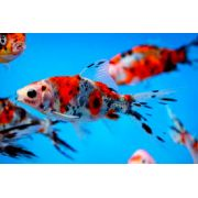 LIVE PETS Goldfish & Other Indoor & Outdoor Collect IN-STORE ONLY - image 6